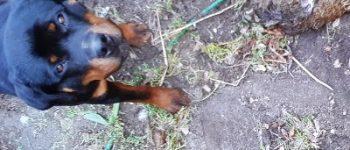Berkel Enschot – Loslopende honden nemen kippen te grazen